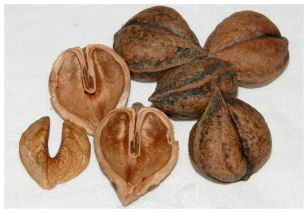 photo of heartnuts